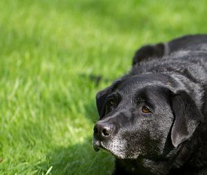 The black  dog is waiting patiently