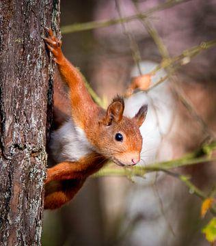 Kuckuck, Eichhörnchen von Marjolein van Middelkoop