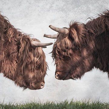 Schotse Hooglanders koppen van natascha verbij