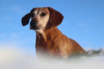 Prachtig portret van een oude teckel met een helder blauwe lucht van Chantal