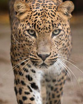 Le léopard vient à vous sur Patrick van Bakkum