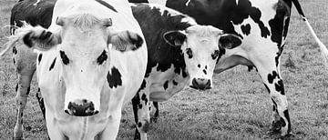Vache sur Joris Louwes