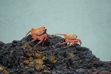 Sally-Lightfoot-Krabbe von Femke Looman