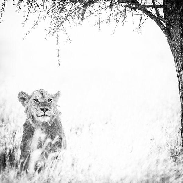 Lioness under the tree. van Leon van der Velden