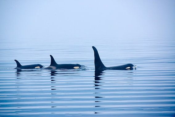 Killer whale or Orca with huge dorsal fins
