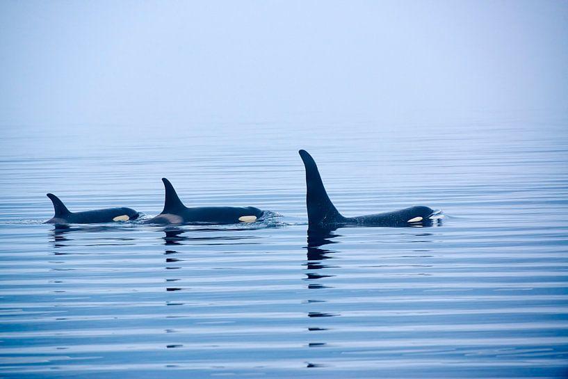 Killer whale or Orca with huge dorsal fins van Jürgen Ritterbach