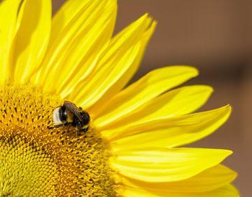 Sonnenblume mit einer hungrigen Hummel von Talitha Blok