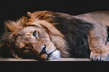 Lion sur Stefan Mosert