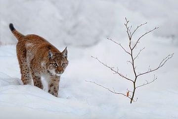 Lynx van eric t'kindt