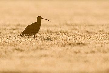 Wulp (Numenius arquata) wandelend door een dauwnatte weide, vroeg in de ochtend, tegenlicht, humeuri van wunderbare Erde