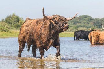 Grote Schotse Hooglander stier loeiend van Anne Zwagers