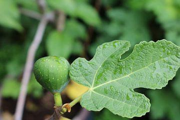 Groene vijg met vijgenblad van Rosalie Broerze
