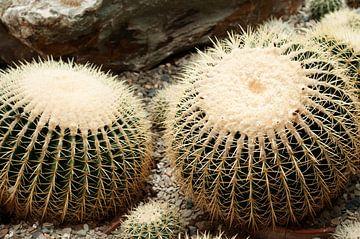 Gouden bal Cactus sur Patricia Verbruggen