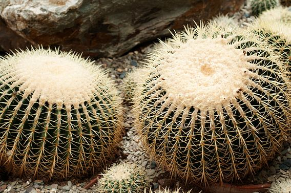 Gouden bal Cactus van Patricia Verbruggen
