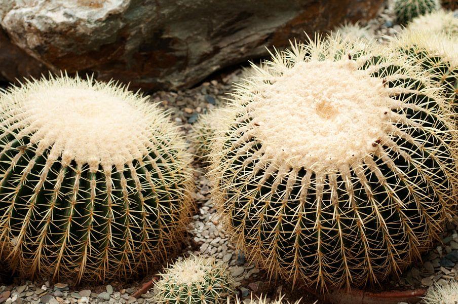 Gouden bal Cactus