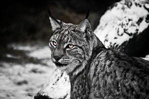 Kokette lynx met gloeiende ogen die half omkeert van het huilen op een koude sneeuwachtige achtergro van Michael Semenov