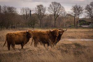 Schotse Hooglanders op de heide van Jacqueline Kroezen