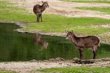 Ellipswaterbok : Koninklijke Burgers' Zoo van Loek Lobel
