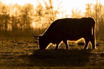 Schotse Hooglander in silhouet van Cécile den Ouden