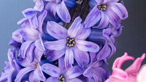 Hyacint Closeup van Samantha Schoenmakers