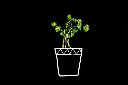 Koriander in pot, green and tastful coriander.