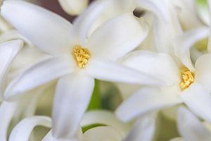 Witte lelies bloem van Sylka Mannaert