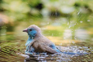 Angolees blauwfazantje (Blue Waxbill) van