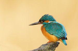 IJsvogel in het zonnetje