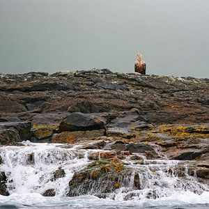 White-tailed Eagle Waiting forDinner ;-)