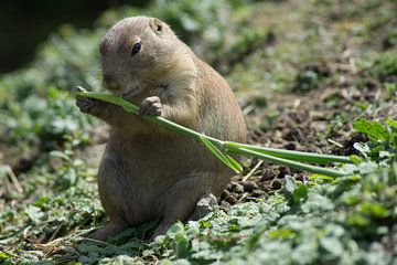 Marmot von Bob de Bruin