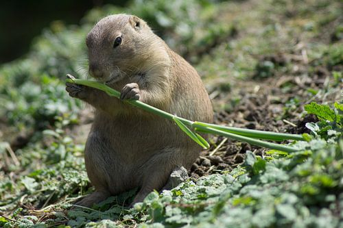 Marmot van Bob de Bruin