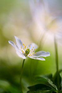 Bosanemoon in bloei van