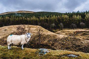 Schaap in de Schotse hooglanden von Nick Chesnaye