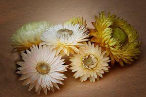 Strohblumen van