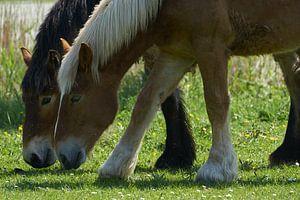 Deux chevaux au pâturage en gros plan