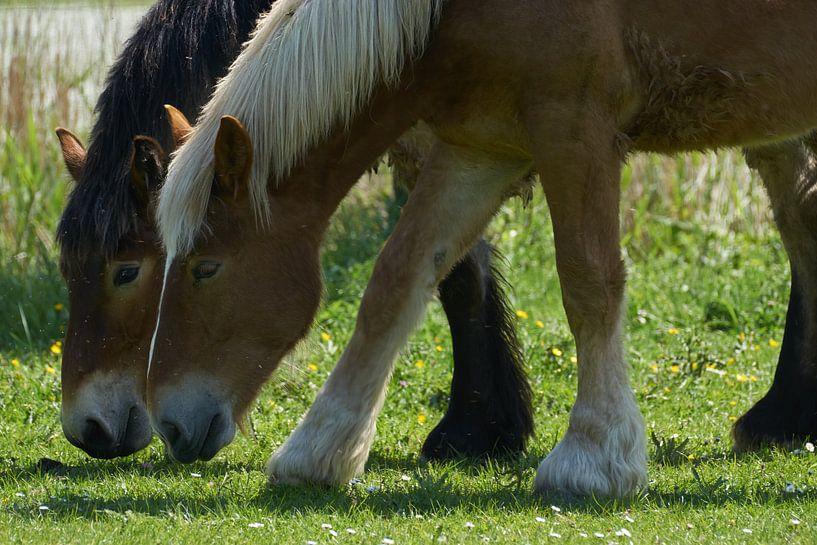 Deux chevaux au pâturage en gros plan sur Geert van Kuyck