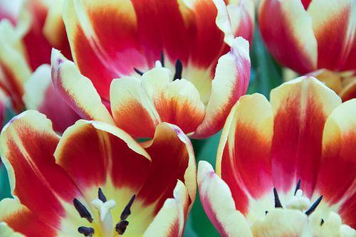 Tulips von Erika Schouten