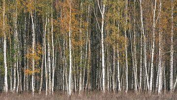 Couleurs d'automne de la forêt de bouleaux sur Vincent Fennis