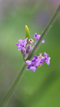 Lavendel (Lavandula) von Beatrice Heinze