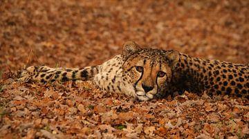 Gepard im Herbst von Eye to Eye Xperience By Mris & Fred