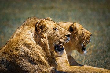 2 Löwen in der Sonne liegend von Erwin Floor
