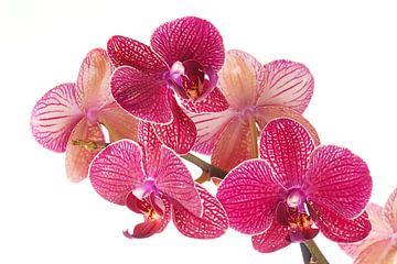 Bloem phalaenopsis orchidee van