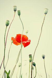 Poppies beeld van