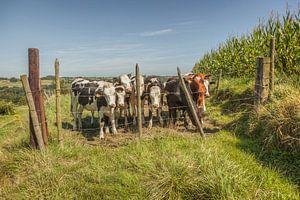 Nieuwsgierige koeien in Zuid-Limburg