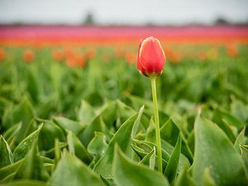 Une tulipe rouge sur