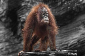 Verraste jonge orang-oetan met weelderig rood haar op vier poten foto van Michael Semenov