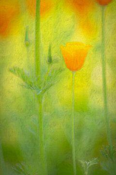 Schijnpapaver (oranje)