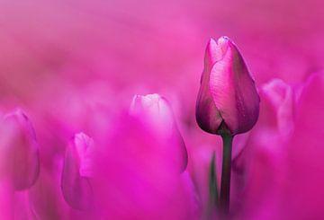 Roze tulpen van Sebastiaan van Stam Fotografie