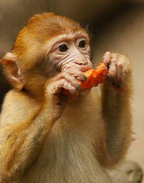 Berberaapje eet wortel van Cora Unk