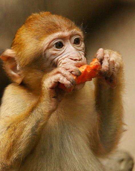 Berbère singe manger la carotte sur Cora Unk